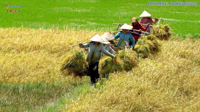Cánh đồng Lúa Mùa Gặt Tại Đồng Tháp